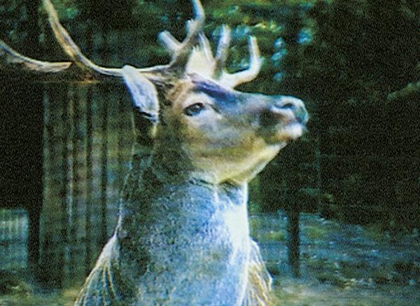singing deer, screenshot